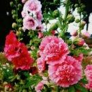 20 of Hollyhock Summer Carnival Pink Flower Seeds