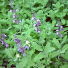 HOT SELLER SAGE 125 SEEDS Salvia Officinalis Evergreen Blue Flowers Herbal Deer Resistant