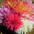HOT SELLER ZINNIA ELEGANS CACTUS FLOWERED MIX 125 SEEDS CALIFORNIA DROUGHT HEAT TOLERANT