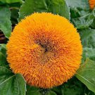 HOT SELLER TEDDY BEAR SUNFLOWER 125 SEEDS NON-GMO DWARF CONTAINER POTS USA