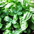 HOT SELLER BASIL LARGE LEAVED SWEET 600+ SEEDS HERB MOSQUITO INSECT REPELLENT MEDICINAL USA