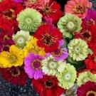 HOT SELLER ZINNIA ELEGANS CALIFORNIA GIANTS FLOWER MIX 125 SEEDS HEAT DROUGHT TOLERANT USA