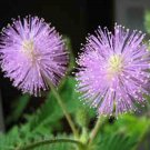 HOT SELLER MIMOSA PUDICA 80+ SEEDS SENSITIVE PLANT FOLIAGE FLOWERING CREEPING