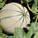 HOT SELLER CHARENTAIS MELON 20+ SEEDS CANTALOUPE SWEET HEIRLOOM NON-GMO FRENCH RARE BEES US