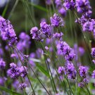 HOT SELLER LAVENDER 500+ SEEDS MUNSTEAD MOSQUITO REPELLENT ENGLISH TRUE USA