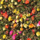 HOT SELLER MOSS ROSE 600 SEEDS PURSLANE PORTULACA GRANDIFLORA GROUNDCOVER DROUGHT TOLERANT