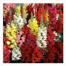 UNA SELLER 1000+ of Snapdragon Seeds, Tetra Mix, Multi Color Blooms, Bees and Butterflies