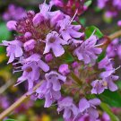 UNA SELLER CREEPING THYME PURPLE 4000 SEEDS GROUNDCOVER LAWN DROUGHT ARID HERB PERENNIAL