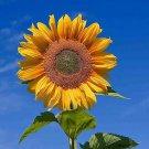 UNA SELLER 20 TAIYO ORGANIC SUNFLOWER SEEDS TALL HEIRLOOM POTS NON-GMO FLOWER