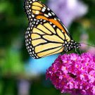 UNA SELLER FRENCH BUTTERFLY MIX WILDFLOWERS POLLINATORS HUMMINGBIRDS BEES NON-GMO