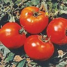 UNA SELLER Abe Lincoln Tomato *Heirloom* (50 Seed's)