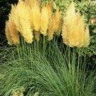 100 of Yellow Pampas Grass Seeds Perennial Flowering Ornimental Grasses Flower