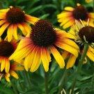 50 of Yellow Orange Coneflower Seeds Flower Perennial Flowers