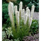 50 of White Gayfeather Seeds Blazing Star Flower Flowers Perennial