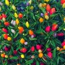 25 of Prairie Fire Ornamental Pepper Seeds Spicy Seed Plant Perennial