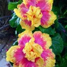 20 of Double Pink Yellow Hibiscus Seeds Hardy Flower Garden Exotic