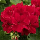 10 of Red Geranium Seeds Perennial Flowers Seed Bright Flower Bloom
