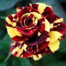 10 of Red Yellow Rose Seeds Flower Bush Flowers Shrub Perennial