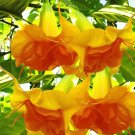 10 of DOUBLE Bright Yellow Orange Angel Trumpet Seeds Flowers