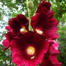 25 of Burgundy Red Hollyhock Seeds Perennial Flower Flowers