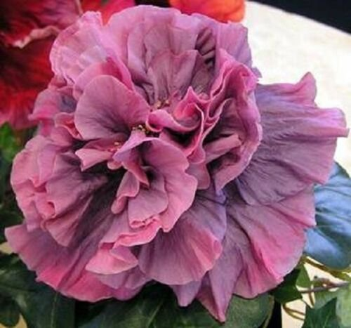 20 of Double Pink Purple Hibiscus Seeds Hardy Perennial Flower