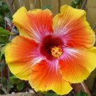 20 of Orange Pink Hibiscus Seeds Perennial Seed Flower Bloom Flowers