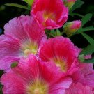 25 of Bright Pink White Hollyhock Seeds Perennial Giant Flower Seeds