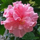 20 of Double Pink Hibiscus Seeds Perennial Hardy Flower Garden