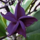 5 of Dark Purple Plumeria Seeds Plants Flower Lei Hawaiian Perennial Flowers