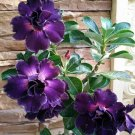 4 of Rare Purple Desert Rose Seeds Adenium Flower Perennial