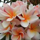 5 of White Orange Plumeria Seeds Flowers Flower Seed Perennial Bloom