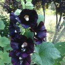 25 of Dark Black Purple Hollyhock Seeds Perennial Flowers Seed Flowers