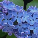 25 of Blue Lilac Seeds Tree Fragrant Flowers Flower Perennial Seed