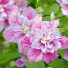 25 of Double Pink White Clematis Seeds Flowers Seed Perennial Flower