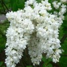 25 of White Lilac Seeds Tree Fragrant Perennial Flower Flowers Seed
