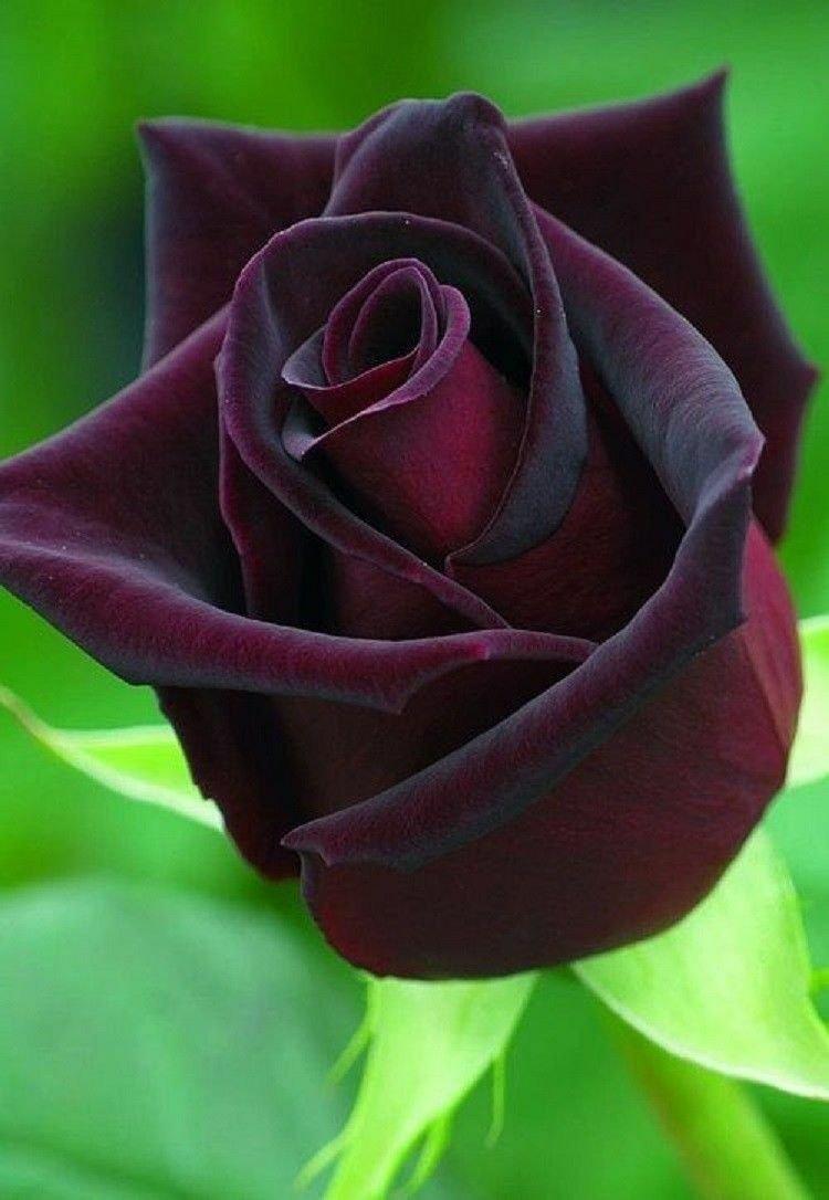 10 of Dark Purple Rose Seeds Flower Bush Perennial Shrub Garden Exotic