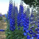 50 of Bright Blue Delphinium Mix Seeds Perennial Seed Flower Flowers