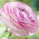 25 of White Pink Persian Buttercup Seeds Ranunculus Flowers Seed