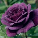 10 of Dark Purple Rose Seeds Flower Bush Flowers Bloom Perennial Seed