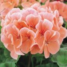 10 of Peach Geranium Seeds Perennial Flowers Flower Seed Bloom Garden