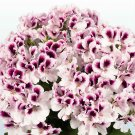 10 of White Purple Geranium Seeds Perennial Flower Seed Flowers