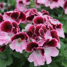 10 of Color Pink Geranium Seeds Perennial Flowers Seed Flower