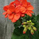 10 of Orange Geranium Seeds Flowers Perennial Flower Seed Bloom