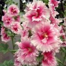 UNA SELLER 25 of Pink White Hollyhock Seeds Perennial Giant Seed Flower Flowers