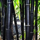 UNA SELLER 50 of Timor Black Bamboo Seeds Privacy Seed Garden Clumping