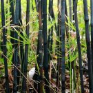 UNA SELLER 50 of Black Bamboo Seeds Privacy Plant Garden Exotic Shade Screen