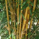 UNA SELLER 50 of Bali Bamboo Seeds Privacy Clumping Exotic Shade Screen Seed