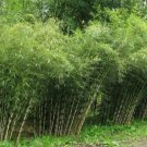 UNA SELLER 50 of Rare Umbrealla Bamboo Seeds Privacy Garden Clumping Exotic Shade