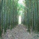 UNA SELLER 50 of Moso Bamboo Seeds Privacy Climbing Garden Clumping Shade Screen