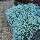 UNA SELLER 50 of Teal Alyssum Seeds Carpet Flower Sweet Flowers Seed Flowers